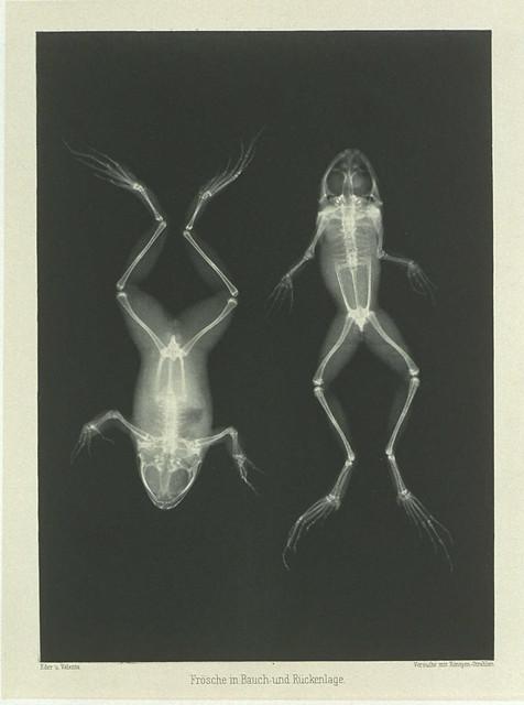 Doppelfrosch