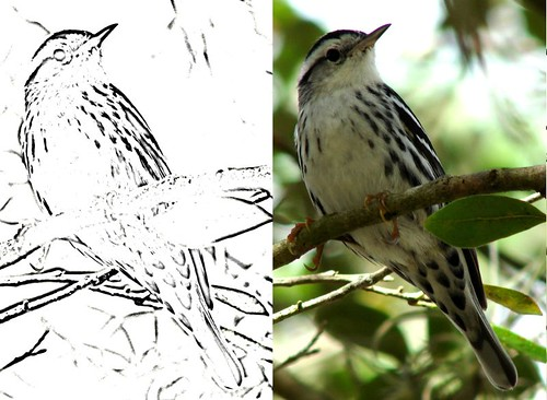Black and White Warbler and coloring page