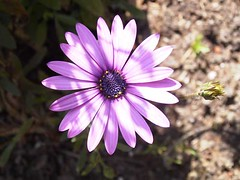 African Daisy (DinaJS) Tags: flower africandaisy