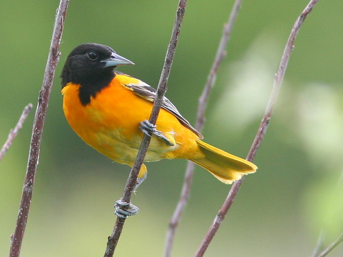 Baltimore Oriole 20090609