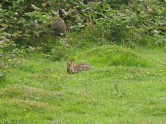 Rabbits near Bentley Priory (Matt From London) Tags: london grass countryside walk rabbits londonloop londonist bentleypriory