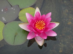 Flowers of Soka - Pink Lotus