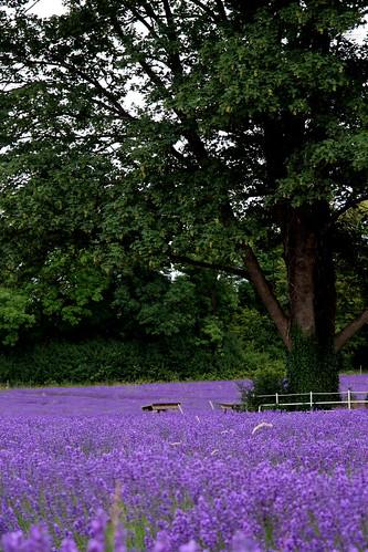 violet carpet