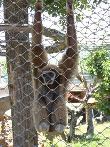Gibbon entre rejas