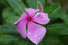 Just Bathed (Anshuman Johri) Tags: pink india flower green nature water rain canon eos droplets drops dof purple pearls bud 1855mm tender pp 30d bhimashankar flowersandcolors tadka09wk30