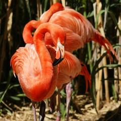 Albuquerque Biopark (Shutter_Hand) Tags: usa newmexico bird zoo sony flamingo albuquerque pssaro ave pajaro alpha aus 700 oiseau flamenco vogel telephotolens pjaro uccello   albuquerquebiopark   miguelmendoza minoltaaf135mmf28 sonyalpha700 lenscraft