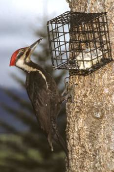 Pileated Woodpecker chows on Suet