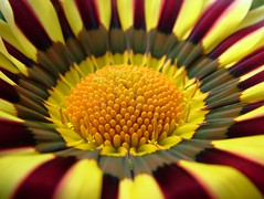 macro flower (*LINNY *) Tags: flores flower macro flora searchthebest gazania excellence