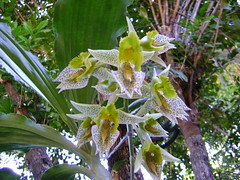 Orquídea 17