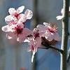 Crabapple Blossoms (hz536n/George Thomas) Tags: pink trees winter flower oklahoma spring flora blossom stillwater 2009 smörgåsbord cs3 canon30d