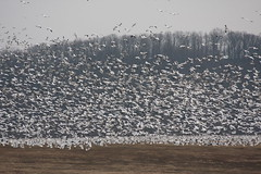 281_16 (lisa_praul) Tags: flock flight middlecreek snowgeese