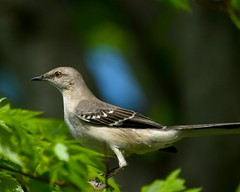 Northern Mockingbird -- Tennessee State Bird (Momba (Trish)) Tags: bird nature interestingness nikon searchthebest tennessee explore northernmockingbird mockingbird statebird interestingness161 i500 tennesseestatebird specanimal impressedbeauty avianexcellence natureselegantshots vosplusbellesphotos
