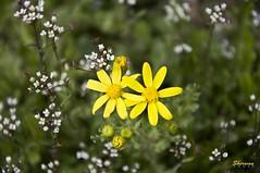 20090313 114609 (Sherwan™) Tags: flower macro nature yellow photoshop spring nikon flickr raw quality pixels erbil kurdistan arbil lightroom kurd sherwan d90 hewler irbil hawler hewlêr nikond90 کوردستان کورد