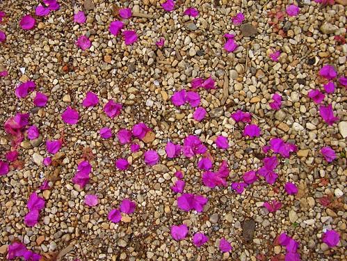 abstract texture purple bougainvillea