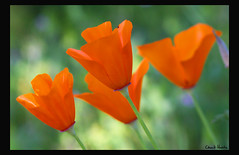 Poppies (Chuck Hunts) Tags: flowers flower poppy poppies californiapoppies canon85mmf18 topshots aplusphoto canoneos450d thebestofmimamorsgroups