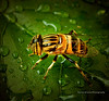 hoverfly (Karina Diarte de Maidana) Tags: insect leaf drops paraguay hoverfly dronefly beemimic eristalinustaeniops karinadiarte