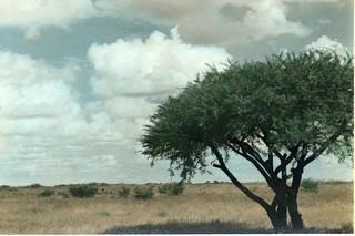 Southern Rhodesia Africa 1953 Acacia
