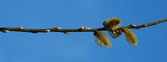 Spring is in the air III (Sallin) Tags: nature leaves spring belgium belgie natuur lente knoppen testelt d80