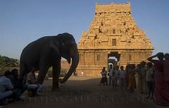 Elephant and the gopuram-Brihadishwara temple-Thanjavur,Tamil Nadu (sanjayausta) Tags: world india elephant tower heritage monument architecture religious temple 1 asia place indian south unesco kings granite gods thanjavur hindu hinduism tamil raja dynasty sanjay sites nadu chola austa gopurams brihadeeshwara rajarajeshwaram