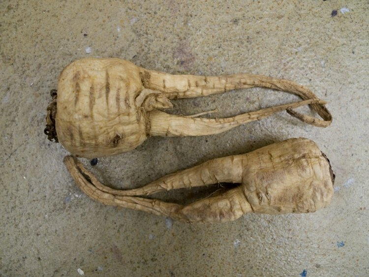 a pair of parsnips