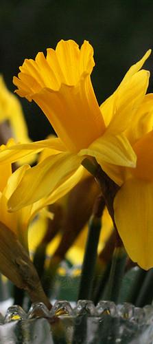 daffodilshot