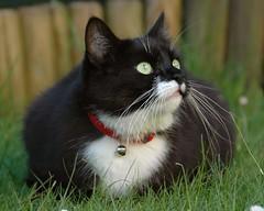 Green Eyes (vanstaffs) Tags: cat tussi tuzz bej animalkingdomelite kissablekat bestofcats tuxedogirl mmmilikeit
