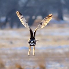 Woo Hoo Hoo! (Fort Photo) Tags: bird nature birds animal nikon colorado searchthebest fort wildlife birding flight fortcollins owl wellington co prairie grassland collins ornithology 2009 grasslands avian bif larimer strigiformes d300 swa strigidae shortearedowl asioflammeus shorteared 300f4 shortear vosplusbellesphotos