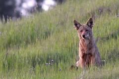 coyote (Mr. Bilal) Tags: coyote nature northerncalifornia wildlife mtdiablostatepark canislatrans specanimal