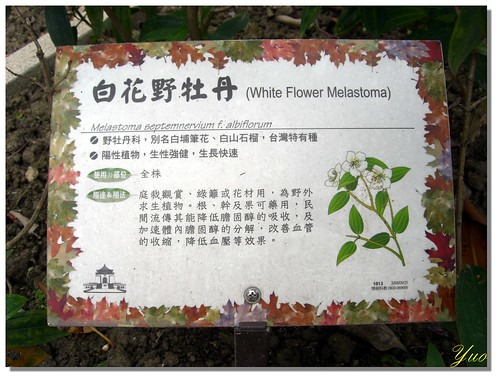 白花野牡丹
