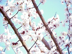 "Apricot  ""Prunus armeniaca"" 2003-04-02 069 Home-Spring-Apricot-Forsythia (Badger 23 / jezevec) Tags: 2003 trees flower tree fleur forest log timber flor boom april apricot   blume fiore albero arbre strom baum puno 20030402 prunus bloem cais  koks   albaricoque drzewo aprikose  albicocca   jezevec  mti abricot abrikoos kvt aprikos arbore vbr      aprikoosi   prunusarmeniaca   wabigon  alperce  parmeniaca badger23  abrikosas trd aprikozes  tr rvore rbol"