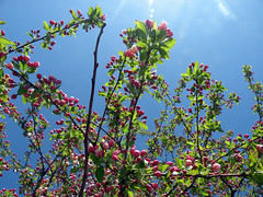 Redbud in Transition (leafytreeful) Tags: pink flowers blue red brown flower tree green lexington kentucky arboretum lexingtonky redbud universityofkentucky ukarboretum