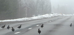 Järpar / Hazel Grouse (HJsfoto) Tags: birds fåglar hazelgrouse bonasabonasia järpe
