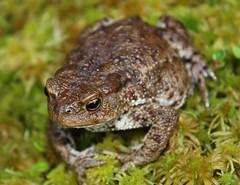 Toad (Rock-paper-scissors) Tags: nature amphibian toad bufo bufobufo