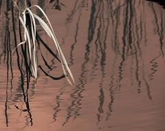 Reeds and Reflections Infrared (Bill Gracey 15 Million Views) Tags: abstract nature water reflections reeds patterns northcarolina charleston infrared abigfave magnoliagardnes