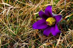 Low on the ground, beautiful things... (Hannu E. K.) Tags: blue flower yellow backsippa anemonepulsatilla 20090423 exiftoolmissing hearkane