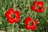 Red Spring (kezwan) Tags: red flower spring kezwan