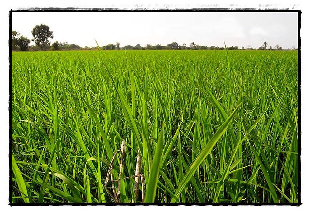 Yue Guang Paddy Rice พันธุ์ข้าวที่ให้ผลผลิตสูง กอใหญ่ และต้านทานการล้ม