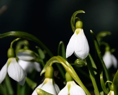 Snowdrops (roger.karlsson) Tags: flowers white flower nature closeup spring flora snowdrops snowdrop galanthus nivalis