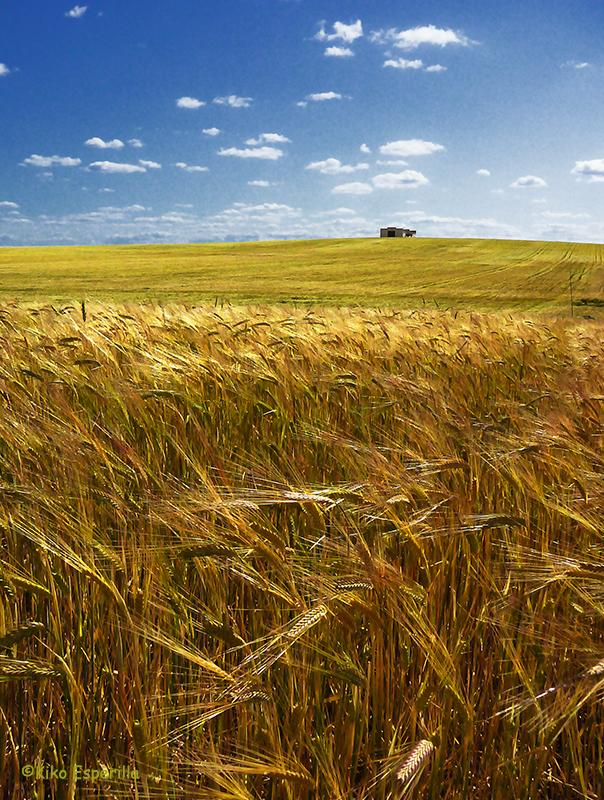 Campo de trigo I