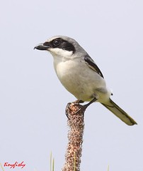 IMG_3121ac (yanalfred (Storage Site Only)) Tags: logger headed shrike loggerheaded