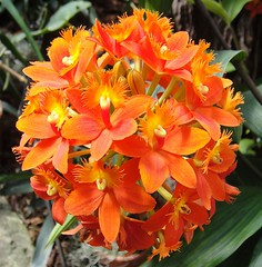 Orange from Peru. Epidendrum radicans, Lincoln Park Conservatory, Chicago, USA (Rana Pipiens) Tags: chicago spain lima enlightenment lincolnparkconservatory naturesfinest crucifixorchid epidendrumradicans bej fantasticflower caroluslinnaeus abigfave saveearth ishflickr overtheexcellence theperfectphotographer onephotoweeklycontest kingcarlosiiiofspain josephlymansilsbee peruvianorchid hiplitoruizlopez antoniopavnyjimnez johnlindley aylmanbourkelambert