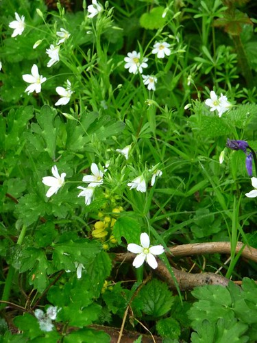 Stitchwort, Gillfield Wood, May 1st