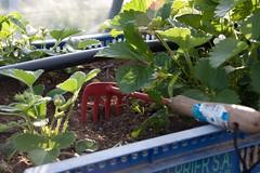 Les plants de fraises