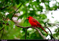 The Red Bird (spisharam) Tags: columbus ohio green bird beautiful spring nikon pretty cardinal aves cardinaliscardinalis redbird nikond60