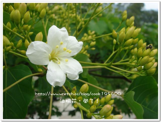 苗栗油桐花季