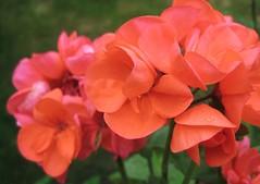 Geranium salmn (Pilar Azaa Taln ) Tags: flowers flores color colour mi garden geranium jardn geranio my onlythebestare pilarazaataln