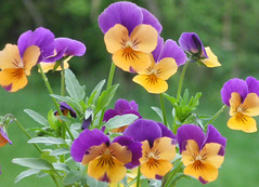 Pansies Soft Background