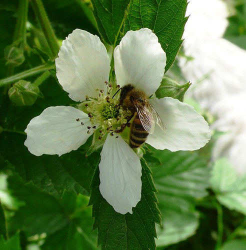 Blackberry with bee
