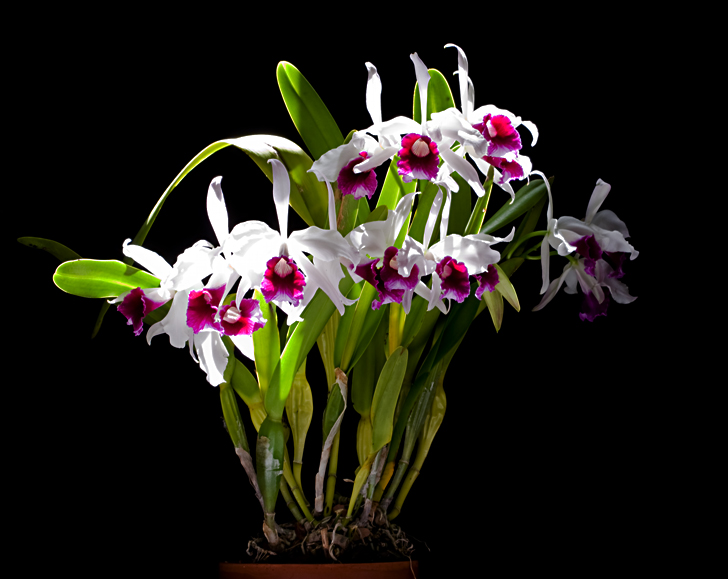 Laelia purpurata 'Cindarosa' Am/Aos