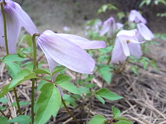 Alpine Clematis Photo